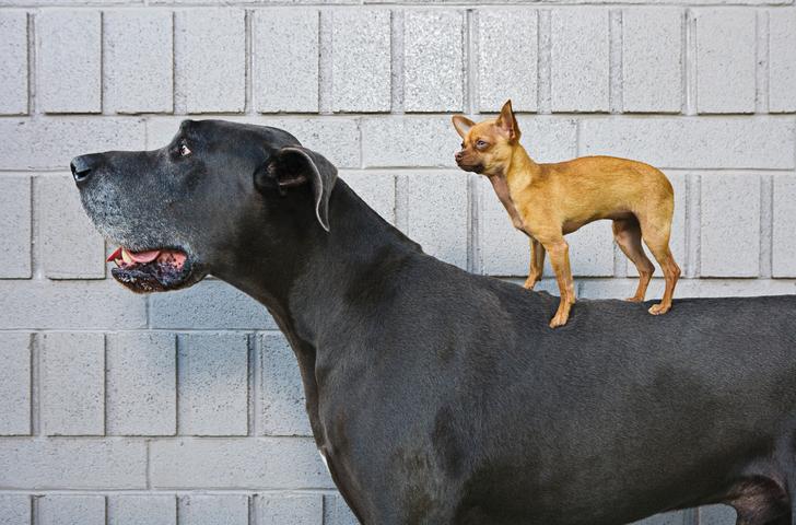 Chihuahua and Great Dane