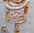 digestive system colon colonoscopy