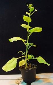 Nicotiana benthamiana, a tobacco plant relative