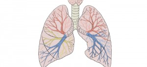 lungs_wikimedia_commons