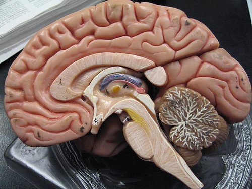 model of the brain